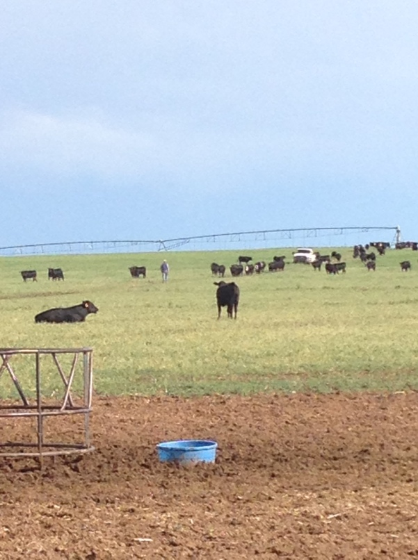 cows and sprinkler