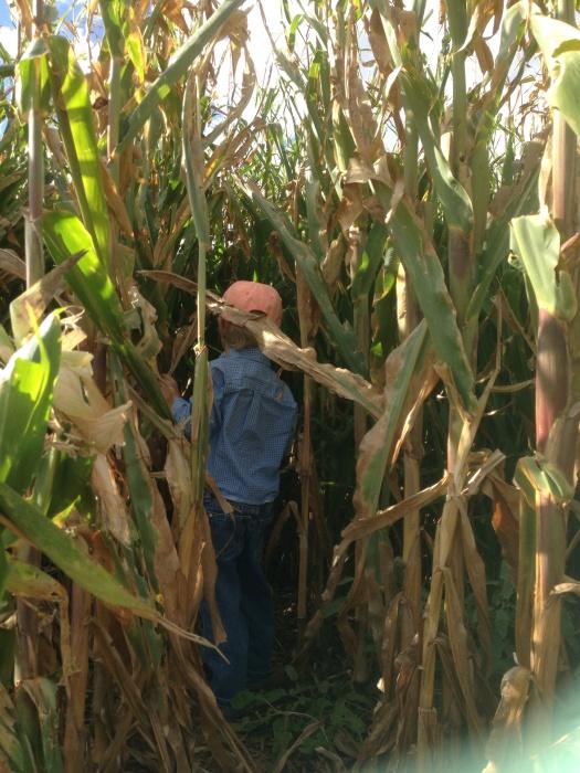 T walking in corn