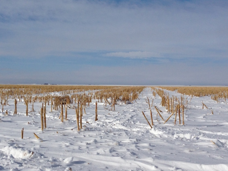 corn stalks in snow