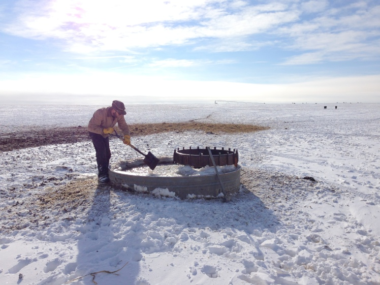 chopping ice for cattle