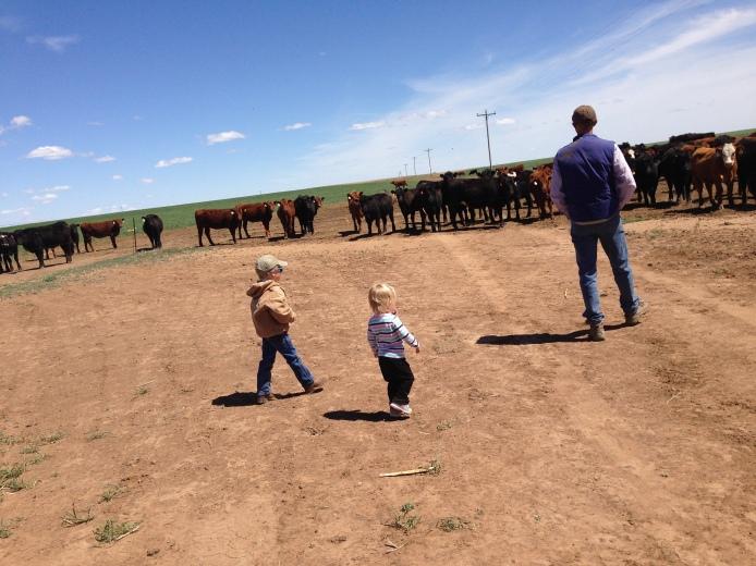 checking heifers